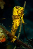 Longsnout Seahorse (Hippocampus reidi) - Yellow with brown stripes.  Found at the Invisibles dive site in Boanire at approx 22 meters depth.