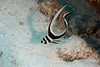 Juvenile Spotted Drum (Equetus punctatus)