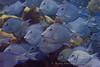 A school of Blue Tang fish (Acanthurus coeruleus)