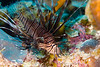 A Lionfish hanging out in the coral reef.  Lionfish are an invasive species to the caribbean and pose a severe threat to the natural order of marine wildlife as they have no natural predator.  3 years ago we didn't see many.  This trip we saw them on every dive site.
