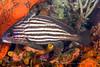 Highhat (Pareques acuminatus)