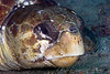 Loggerhead Turtle headshot