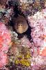 Goldentail Moray (Gymnothorax miliaris)