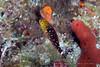 Stoplight Parrotfish Juvenile (Sparisoma viride)