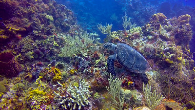 Hawksbill Turtle feeding in the reef