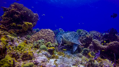 A Hawksbill Turtle with an apparent abcess or deformaty to its shell.  Very large hump.