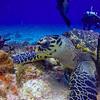 Hawksbill Turtle feeding in the reef