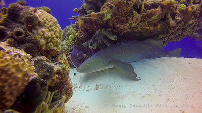 Sleeping Nurse shark.  Wedges its self under the coral head as protection from the current.