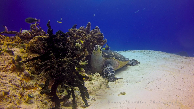 Hawksbill Turtle - We saw more turtles than we have in the past.  Warm water in June.  29c