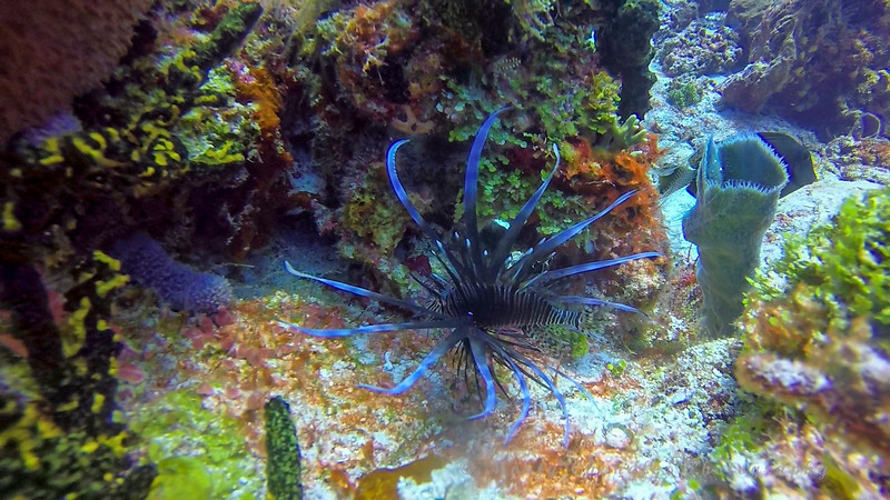 Lionfish - Cozumel has opened the park to lionfish hunting.  We saw very few on this trip.  Less than any other trip during the past 10 years.  Hunting them is having an impact.