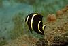 Juvenile Gray Angelfish (Pomacanthus arcuatus)
