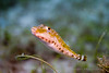 Bandtail Puffer (Sphoeroides spengleri)