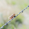 Grasshopper Impaled on Barbed Wire by Loggerhead Shrike in Rural Colorado