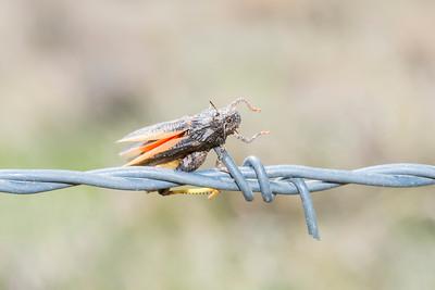 Speckle-winged Rangeland Grasshopper (Arphia conspersa)