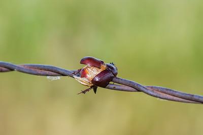Carrot Beetle (Tomarus spp.)