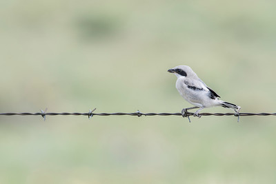 Immature Loggerhead Shrike (Lanius ludovicianus) on Barbed Wire in Rural Colorado