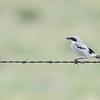 Immature Loggerhead Shrike (Lanius ludovicianus) on Barbed Wire in Rural Colorado