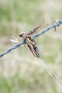 Red-shanked Grasshopper (Xanthippus corallipes)