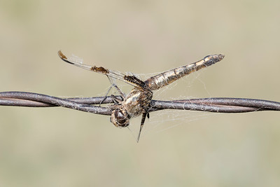 Twelve-spotted Skimmer (Libellula pulchella) Wrapped in a Spider Web
