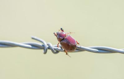 Carrot Beetle (Tomarus gibbosus)