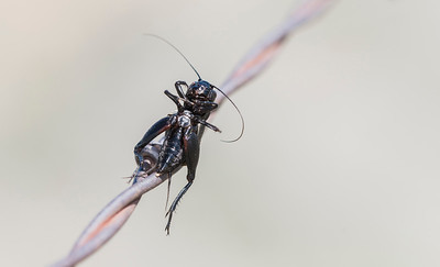 Fall Field Cricket (Gryllus pennsylvanicus)