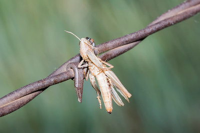Grasshopper Impaled on Barbed Wire by a Loggerhead Shrike with a Damsel Bug (Nabis spp.) Feeding on it
