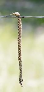 Bull Snake (Pituophis catenifer sayi)