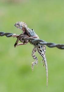 Lesser Earless Lizard (Holbrookia maculata)