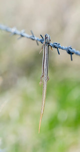 Many-lined Skink (Plestiodon multivirgatus)