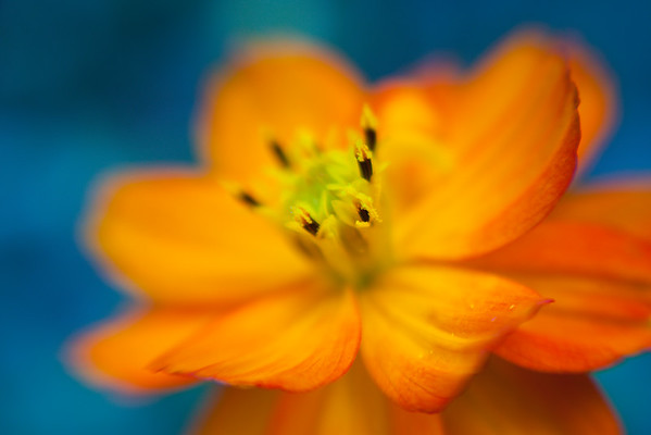 Coreopsis + Cosmos