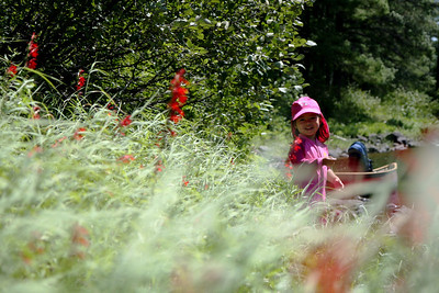 A pink kid amongst a field of red cardinal flowers.
