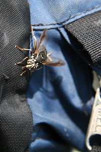 Some kind of bee/wasp attracted to the Thermo-cell (mosquito repellent) inside the backpack.