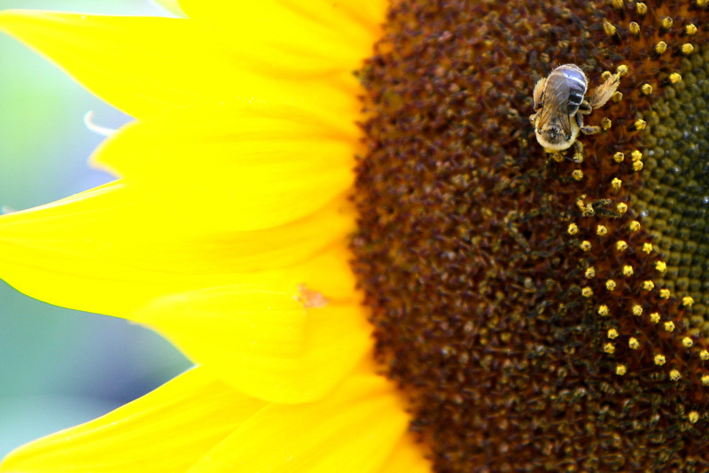 2011-Aug: The bees of our garden