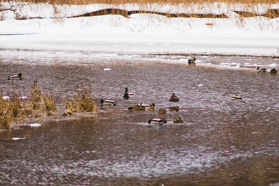 Wildlife in Stepping Stone Falls in Flint Michigan Photograph 11