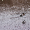 Wildlife in Stepping Stone Falls in Flint Michigan Photograph 18