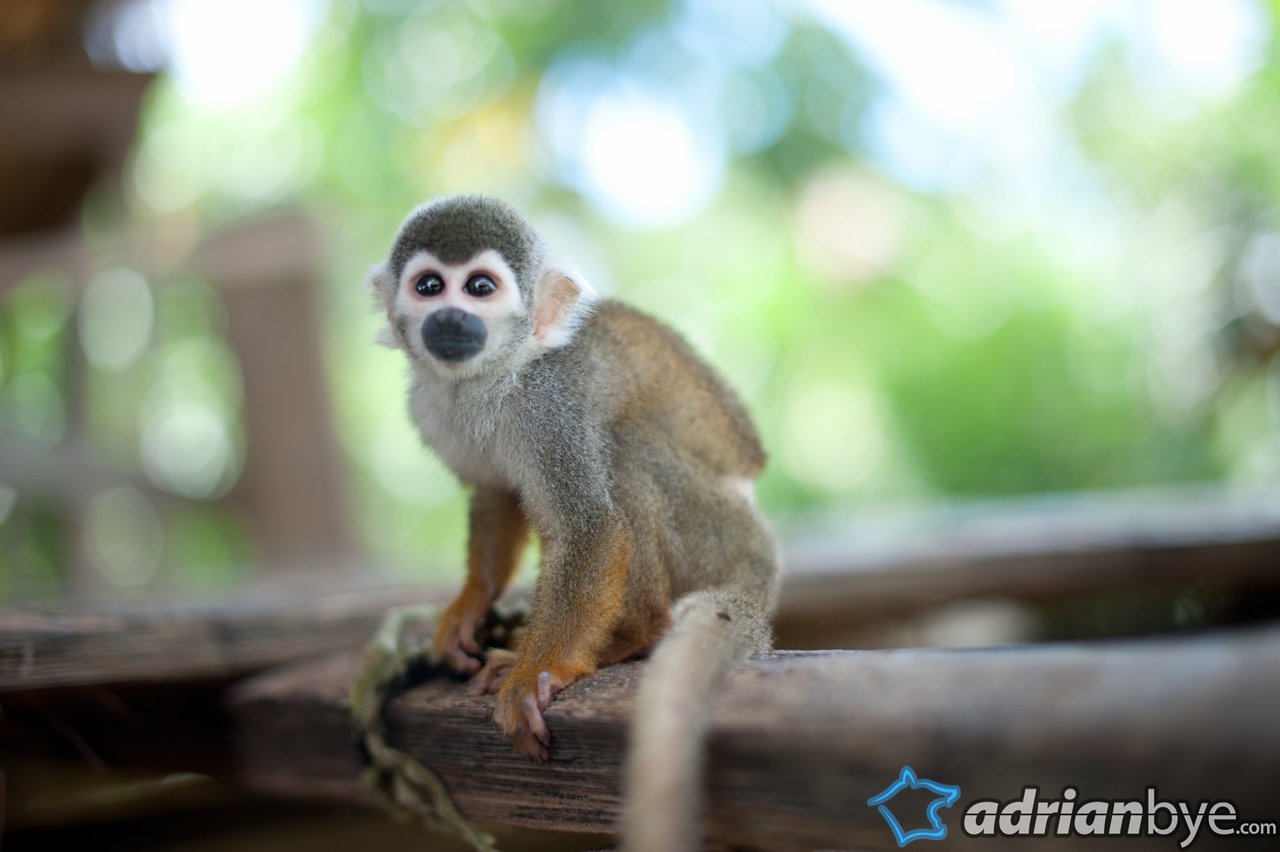 If you live in the Amazon it can be a good idea to have a monkey as a pet