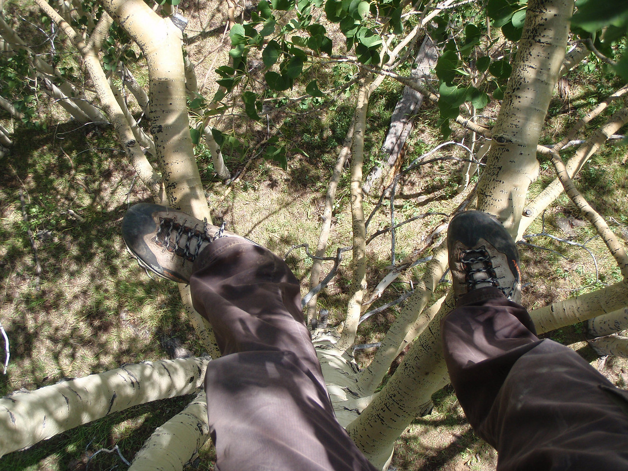 high up in an Aspen tree