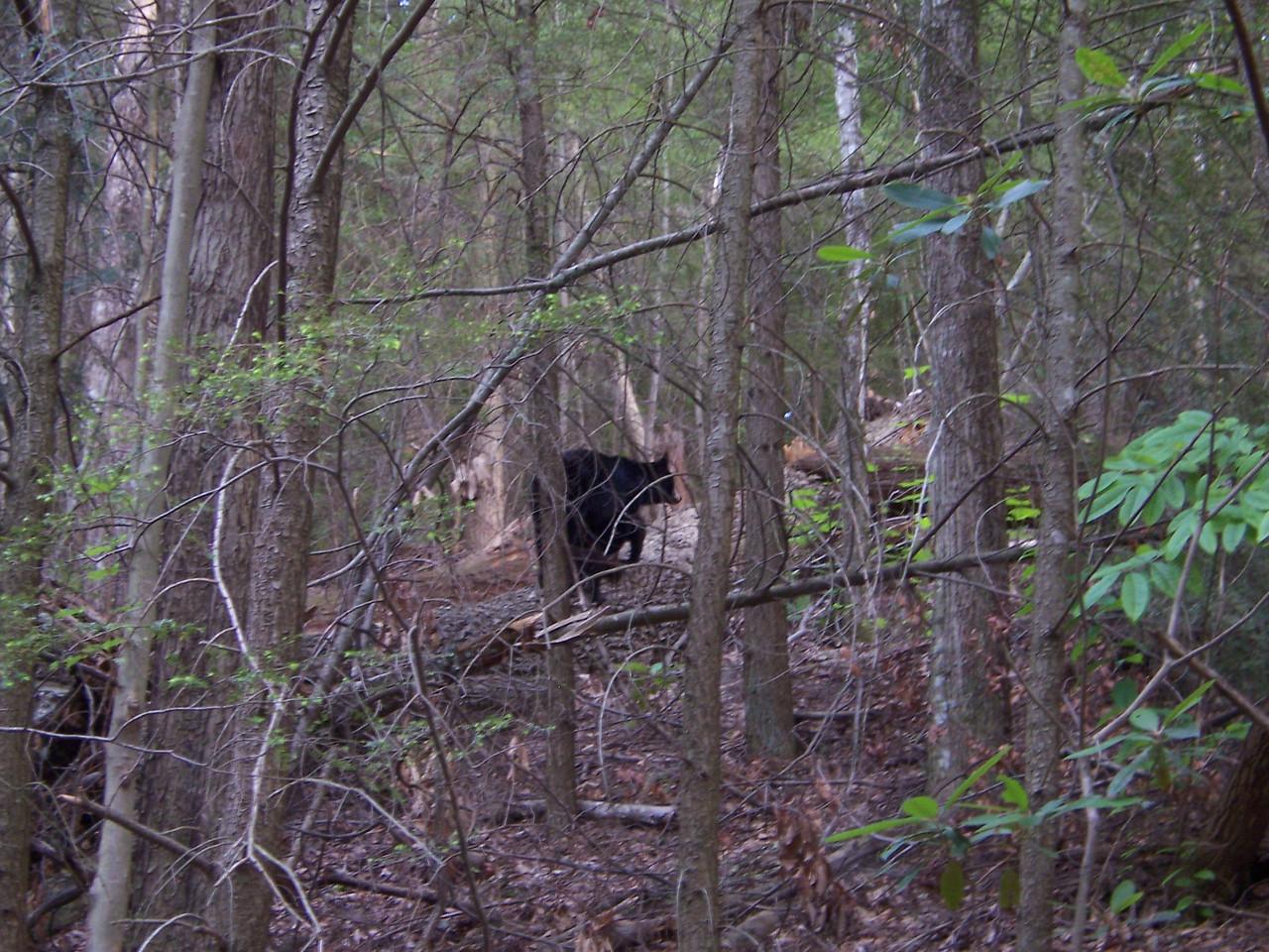 a momma bear with 2 cubs