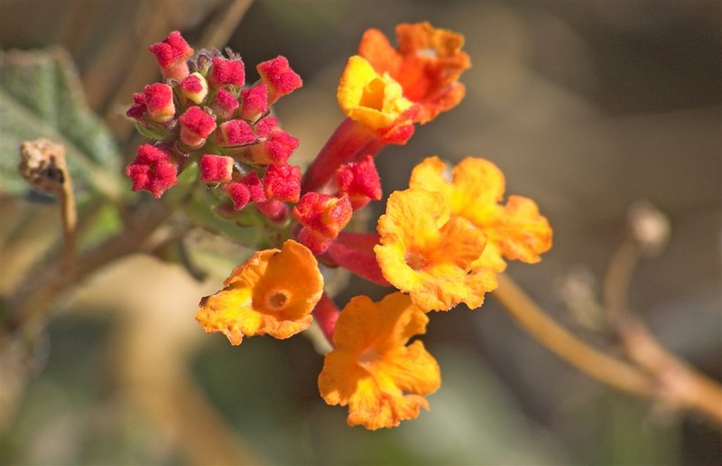 lantana.....spring is arriving and the plants are flowering