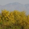 Palo Verde Tree in Bloom