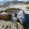Our bike ride along the Monterey Coastal trail round-trip from Fort Ord Dunes State Park in Seaside to Pacific Grove & back.