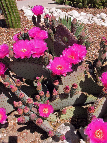 Beaver Tail Prickly Pear Cactus in Front Yard.