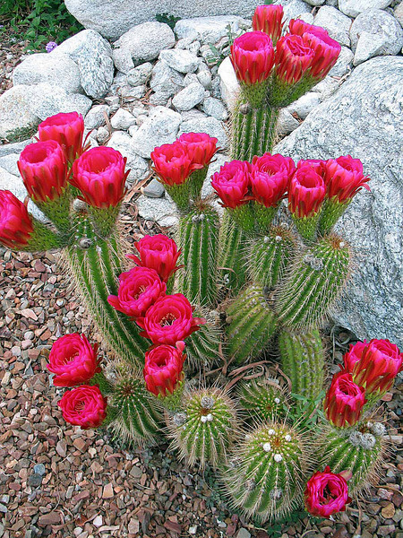 This cactus consistently blooms beautiful flowers every year.