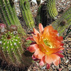 Cactus blooming in the Front Yard.