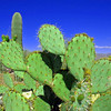 Prickly Pear Cactus up on the ridge.