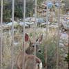 04/21/08: Mule Deer in the back yard.