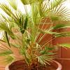 The Mediterranean Palm Tree