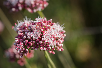 Ant on California Wildflower