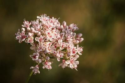Flowers of California Buckwheat