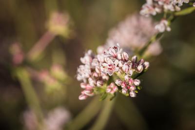 Mojave Desert Wildflower